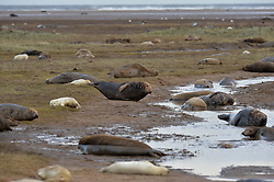 © Licensed to London News Pictures. 19/11/2015. North Somercotes, UK. A view of the grey seal colony at Donna Nook Nature Reserve, North Somercotes, Lincolnshire. Every November and December the grey seals come ashore and give birth to their pups near to the sand dunes at the reserve. Photo credit : Anna Gowthorpe/LNP