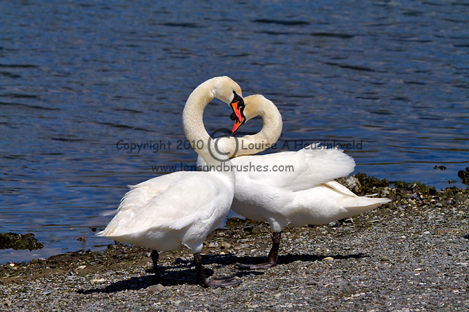 A pair of mute swans, Cygnus olor, courting in spring. Mute swans are an introduced species in North America, and in some regions they are considered invasive, although they are still protected in many areas.