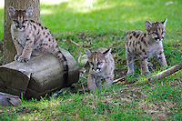 VALLEJO, CA - APRIL 26:  Three orphaned 11 month old cougar cubs play at Six Flags Discovery Kingdom on April 26, 2007 in Vallejo, California. The cougar cubs were given to the park from the Idaho Fish & Game in March after they were found motherless in the wild and it was determined that they would not survive in the wild. They will be a part of the park's Wildlife Theater show.  (Photo by David Paul Morris)