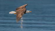 Bald eagle in flight over ocean water, © 2005 David A. Ponton