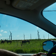 OCTOBER 13 - SANTA ISABEL, PUERTO RICO - <br /> Pattern Energy wind turbines on a field near agriculture and farm animals in Santa Isabel after the path of  Hurricane Maria.<br /> (Photo by Angel Valentin/Freelance)
