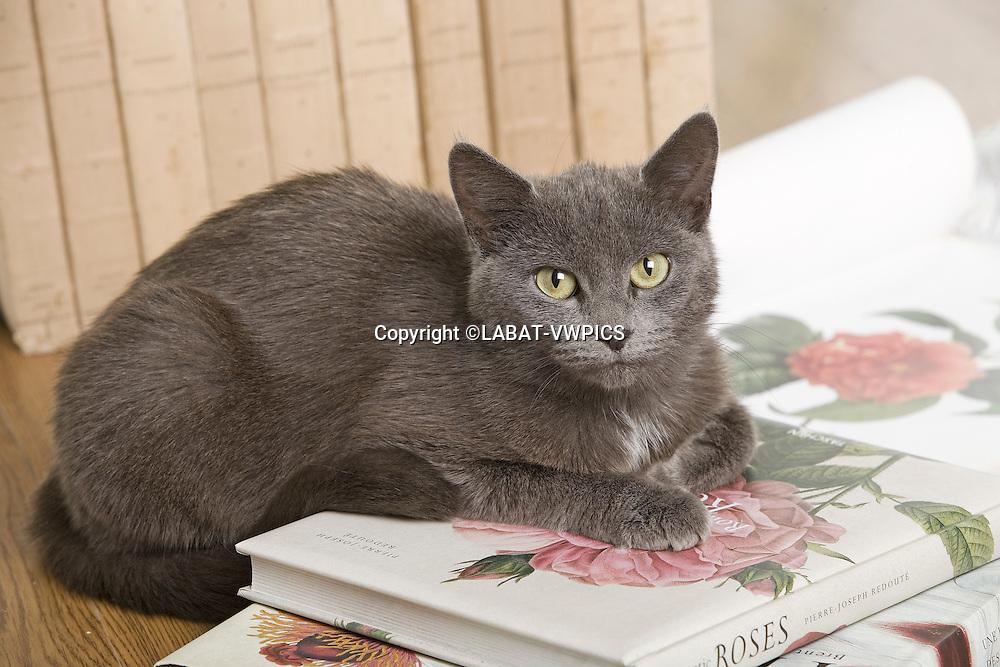 Chat de gouttire gris