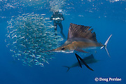 photographer and Atlantic sailfish, Istiophorus albicans, attacking bait ball of Spanish sardines (aka gilt sardine, pilchard, or round sardinella ), Sardinella aurita, off Yucatan Peninsula, Mexico ( Caribbean Sea ) MR 403