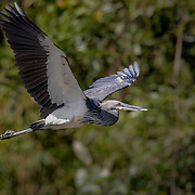 White-Bellied Heron, classified as Critically Endangered because it has an extremely small and rapidly declining population. Only odd 40 exists in India. And only around 150 left all over the world. Photographed this in the remotest part of Namdapha Tiger Reserve.