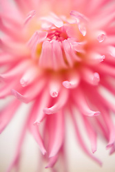 Extreme close up of a pink dahlia