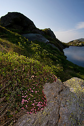 Alpine Azalea, Loiseleuria procumbens, blooms at Lakes of the Ckouds below Mount Washington in New Hampshire's White Mountain National Forest.
