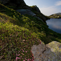 Alpine Azalea, Loiseleuria procumbens, blooms at Lakes of the Ckouds below Mount Washington in New Hampshire's White Mountain National Forest.