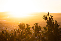 Cape Sugarbird Silhouetted at Dawn, Bredasdorp, Western Cape, South Africa