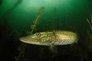 Pike (Esox lucius) lake Stechlin, Germany | Hecht (Esox lucius) Stechlinsee