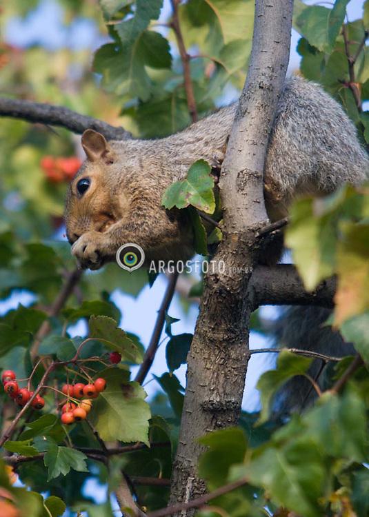 A squirrel eating autumn berries (Crataegus Crus-Galli) at Montreal Botanic Garden /  Esquilo se alimentando de frutas (Crataegus Crus Galli) no Jardim Botanico de Montreal
