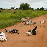 Goats lying on a road in Eastern Equatoria in South Sudan on 8 August 2014.