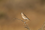 Isabelline Wheatear (Oenanthe isabellina) on a branch, negev desert, israel