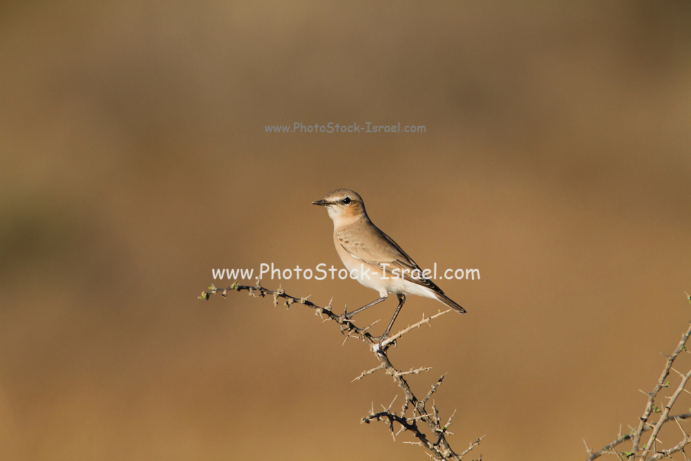 Isabelline Wheatear (Oenanthe isabellina) on a branch, negev desert, israel