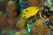 Threespot Damselfish Juvenile (Stegastes planifrons) & Great Star Coral (Montastraea cavernosa)<br /> BONAIRE, Netherlands Antilles, Caribbean<br /> HABITAT & DISTRIBUTION: Reef tops in areas of algae growth. <br /> Florida, Bahamas, Caribbean, Gulf of Mexico & Bermuda