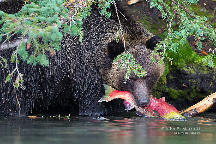 Grizzly bear with a big sockeye salmon in the Chilcotin region of southwest British Columbia, Canada
