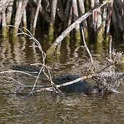 Alligator, alligator mississipiensis, floating near the mangroves in the Everglades National Park. <br />