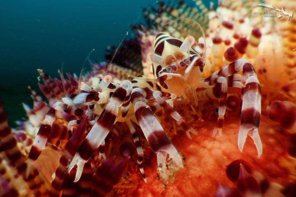 A pair of Coleman's shrimp (Periclimenes colmani) on their host fire urchin (Asthenosoma varium). Lembeh Strait, Indonesia. echeng100305_0253084
