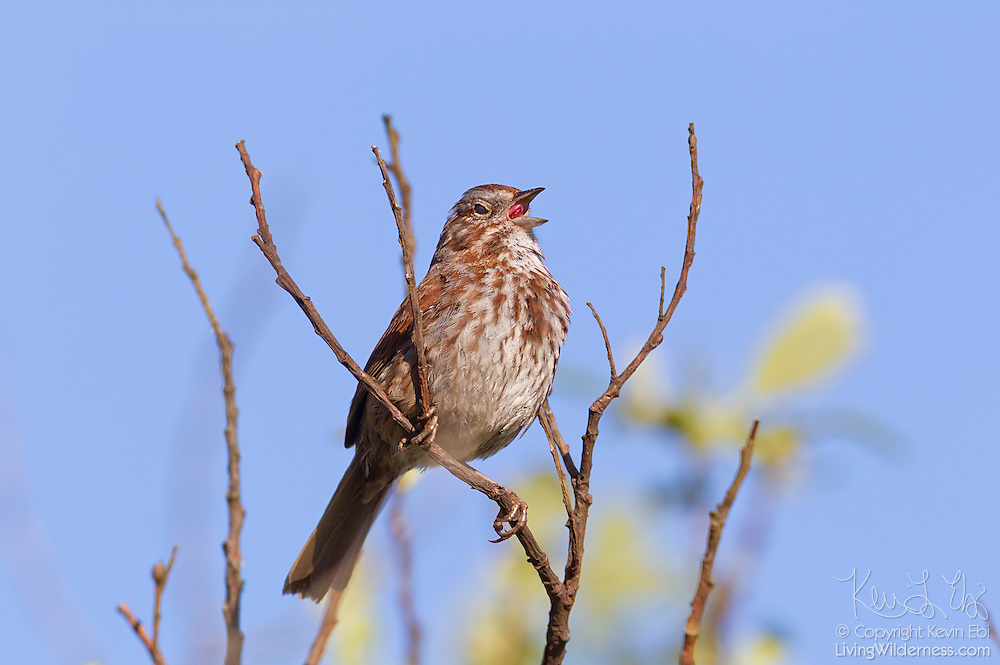 A song sparrow (Melospiza melodia) sings from a perch high in a tree in the Grays Harbor National Wildlife Refuge in Washington state.