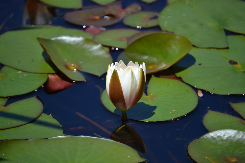 White Water Lily at Moraine State Park