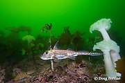 spotted ratfish, ratfish, rat-fish, rabbit fish, or chimaera, Hydrolagus colliei, swims past giant plumose anemones, Metridium farcimen, and sea star, Barkley Sound, Vancouver Island, BC, Canada