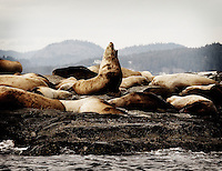 A seal makes his voice heard amongst his herd near Victoria, British Columbia, Canada.