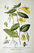 Yellow Balsam or Touch-me-not( Impatiens noli-tangere) annual herbaceous plant of damp places in Europe, Asia and North America, with seed pods that explode when ripe. From Amedee Masclef 'Atlas des Plantes de France', Paris, 1893.