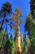 Giant Sequoia (Sequoiadendron giganteum), Trail of 100 Giants, Giant Sequoia National Monument, California