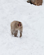 Snow monkey running down snow bank 4