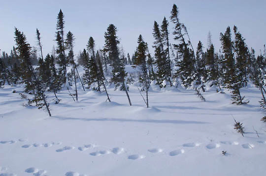 Tracks from a mother polar bear and her new cubs skirt the edges of the spruce forest in the denning area near Churchill, Manitoba. Wapusk National Park. Canada