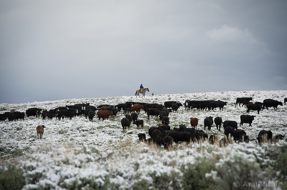 The Ruby Ranch in Southwestern Montana drive their cattle from their winter pastures to summer pastures in the Centennial Valley.  Today, very few ranches drive their cattle with horses, instead moving them by truck. Now, spurred by growing consumer concern over meat's environmental impact and concerned about the long-term viability of their livelihood, a cohort of ranchers is trying to apply the understanding gleaned from the science of ecology to livestock management.