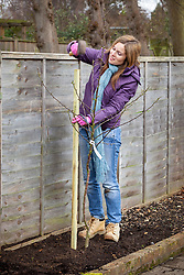 Planting a bare rooted apple tree. Staking