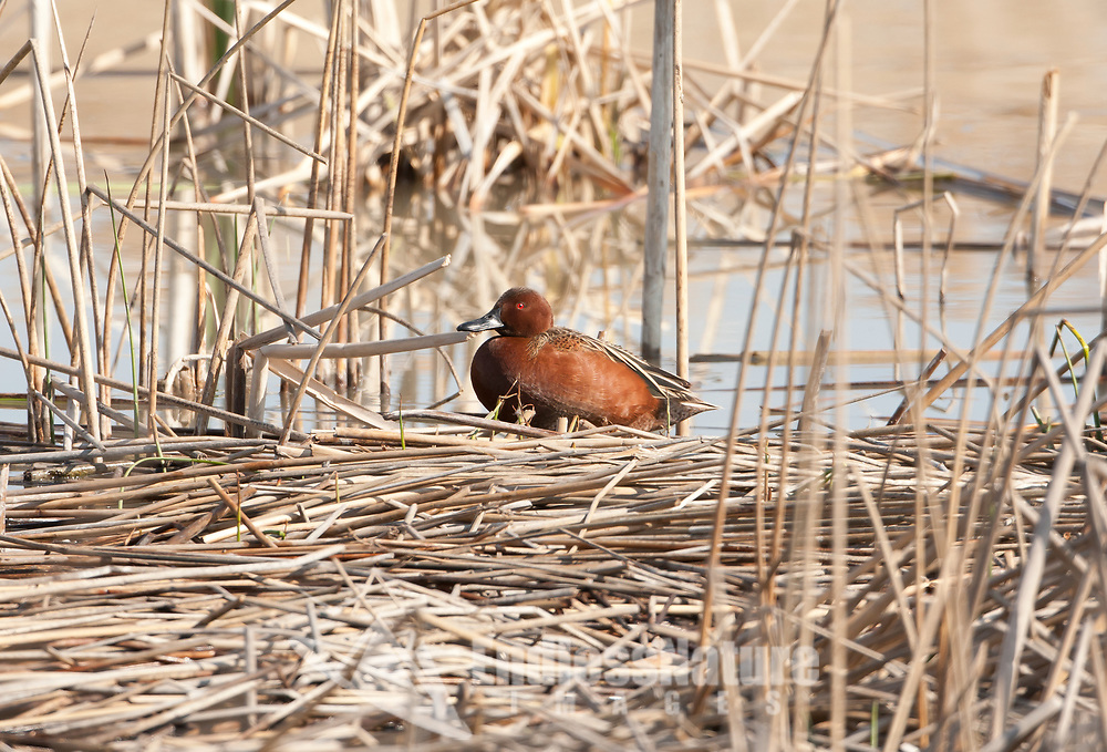 Watch the reeds and cattails when you are around wetlands and marshes and you will have a great chance finding Cinnamon teal they feel safe resting in these places.