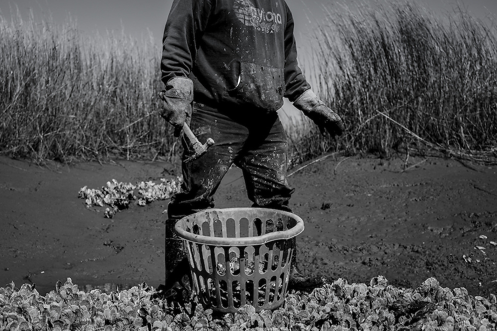 Gullah fisherman Ed Atkins harvests oysters.