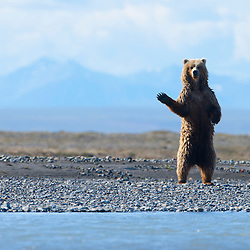 A grizzly bear stands tall at the shore of the Canning River to get a closer look at its surroundings, Edge of the Arctic National Wildlife Refuge, Alaskan Arctic.