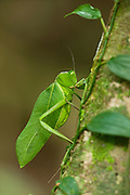 Giant Narrow-winged Leaf Katydid (Steirodon sp.)<br /> Iwokrama Forest Reserve<br /> GUYANA<br /> South America