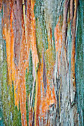 The colors of Eucalyptus tree bark (Eucalyptus botryoides) become vividly evident when moistened by the frquent passing mists along the flanks of Mount Haleakala, a 10,023 foot high volcano in Maui, Hawaii.