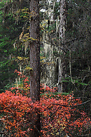 Lichens, Usnea longissima, autumn colours and sceneries in the Baima Snow Mountain Nature reserve, Yunnan, China