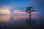 Cypress tree in Lake Maurepas, a brackish tidal estuarine sytem is south Louisiana