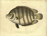 """Handcolored copperplate engraving of Chaetodon fish. A tropical fish genus in the family Chaetodontidae. Like their relatives, they are known as """"butterflyfish"""". From the Encyclopaedia Londinensis or, Universal dictionary of arts, sciences, and literature; Volume IV;  Edited by Wilkes, John. Published in London in 1810"""