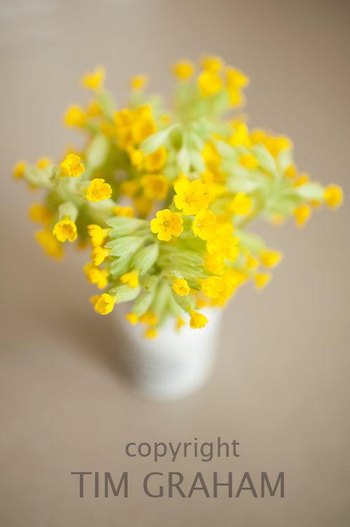 Vase of wild Cowslips, Primula veris, in springtime in the Cotswolds, Oxfordshire, UK