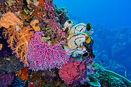 Alberto Carrera, Coral Reef, Reef Building Coral, Stony Coral, Branching Coral,Tunicates, Polycarpa aurata, Bunaken National Marine Park, Bunaken, North Sulawesi, Indonesia, Asia