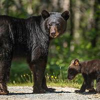 A female American black bear (Ursus americanus) and her young cub near Port Joli, Nova Scotia, Canada. July 2018.
