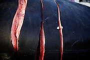 The first cuts made in the first whale caught in this year's fall whaling season in Barrow, AK on September 22, 2014.