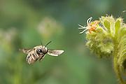 A anthidium bee (Anthidium sp) flies near a Salt heliotrope (Heliotropium Curassavicum) flower. Photographed in the high-desert of Washington, at The Nature Conservancy's Whisper Lake Preserve.