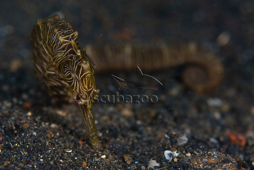 Zebra Seahorse. Hippocampus zebra, KBR, Lembeh Strait, Sulawesi, Indonesia.