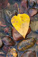 Fallen leaf on rocks alonfg the shore of Lake McDonald Glacier National Park Montana USA