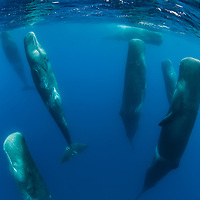 Sperm whale, Physeter macrocephalus, Pico, Azores, Portugal<br /> Model release by photographer