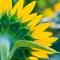 Close-up image of the back of a sunflower (Helianthus annuus) with leaf, McKee-Beshers Wildlife Management Area, Poolesville, Maryland.