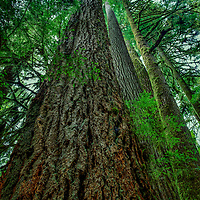 Trees in the Cascade Range