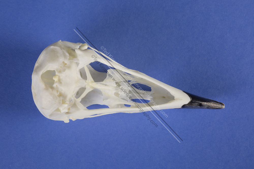 "The Skull of an American crow (Corvus brachyrhynchos) is a large passerine bird species of the family Corvidae. It is a common bird found throughout much of North America. In the interior of the continent south of the Arctic, it is referred to as simply the ""crow"".  American crows are common, widespread and adaptable, but they are highly susceptible to the West Nile virus. They are monitored as a bioindicator. Direct transmission of the virus from American crows to humans is not recorded to date, and not considered likely."